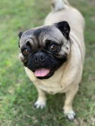 pug, pug dog, dog, animal, cute, pet, rescue, furry, tongue ...